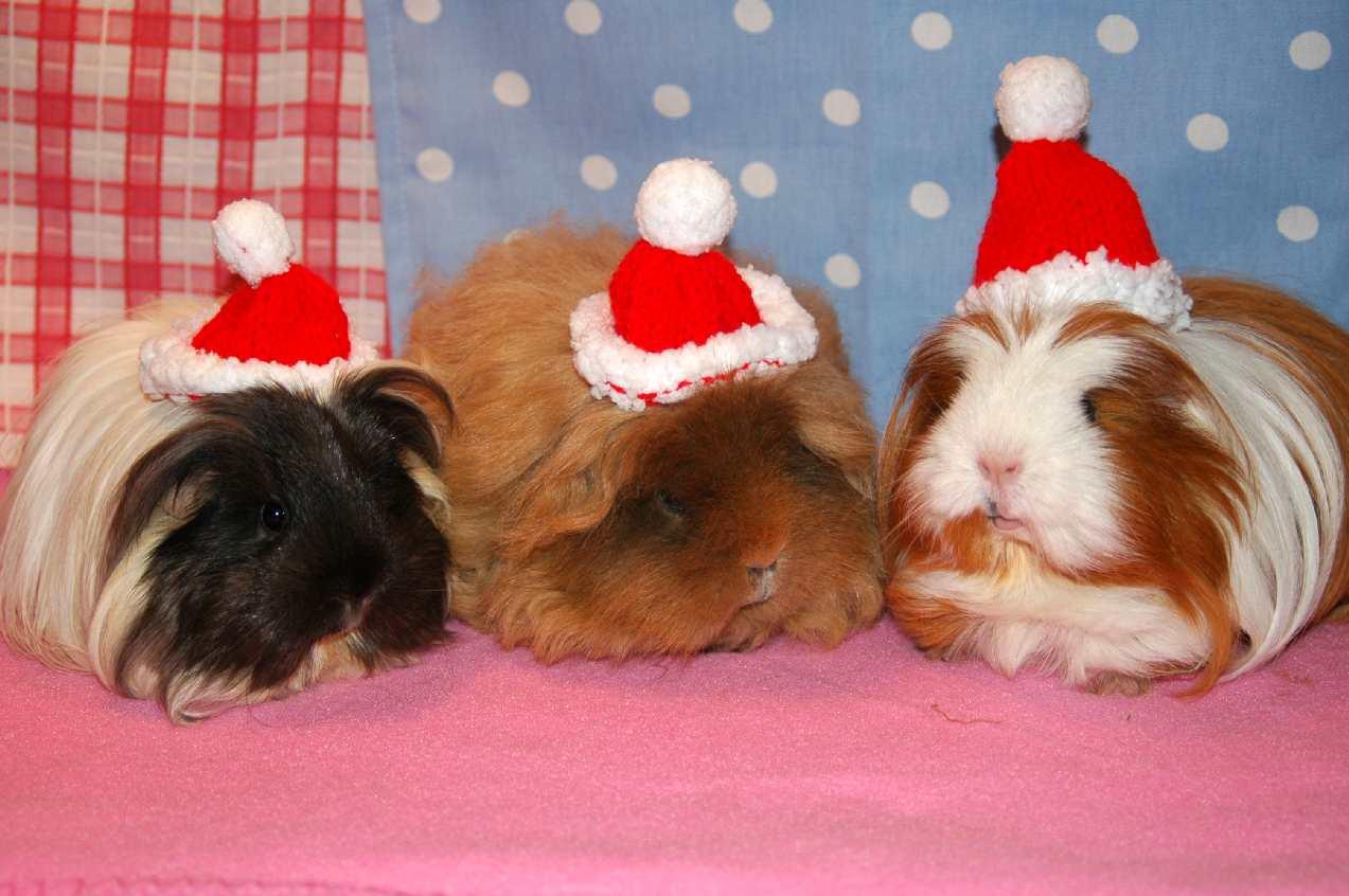 christmas guinea pig wallpaper wallpapersafari