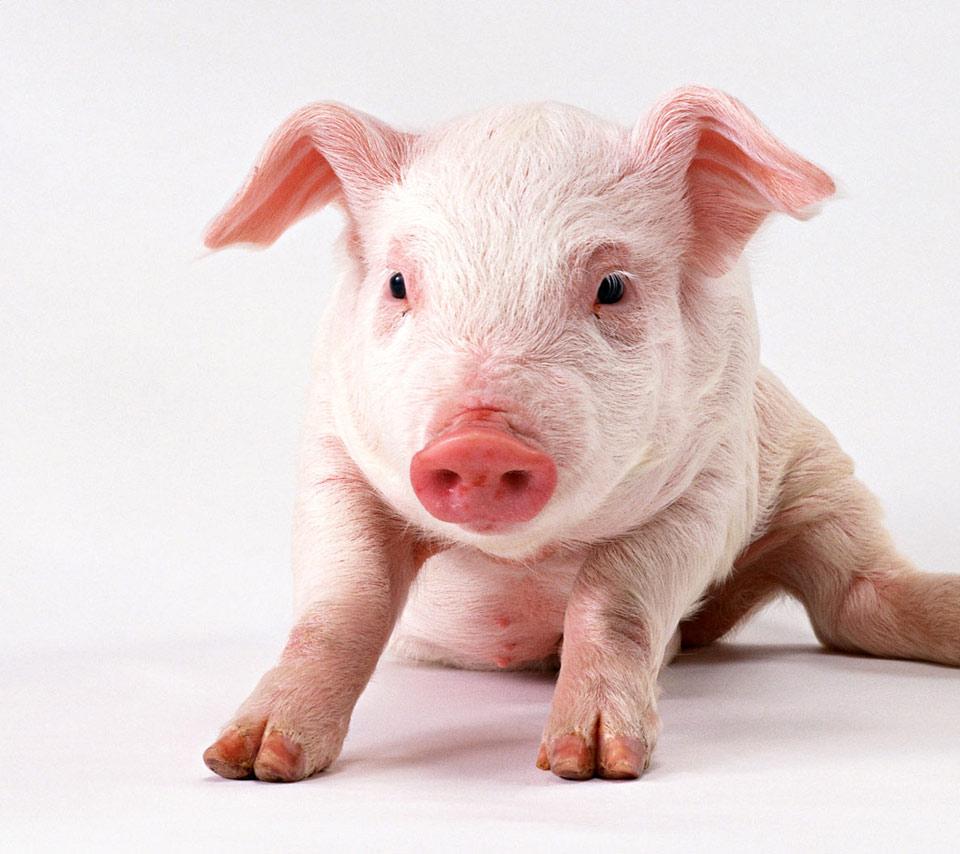 Pigpigshogswinelovelycutefunfunnypinkwhitepetpetsanimal 960x854