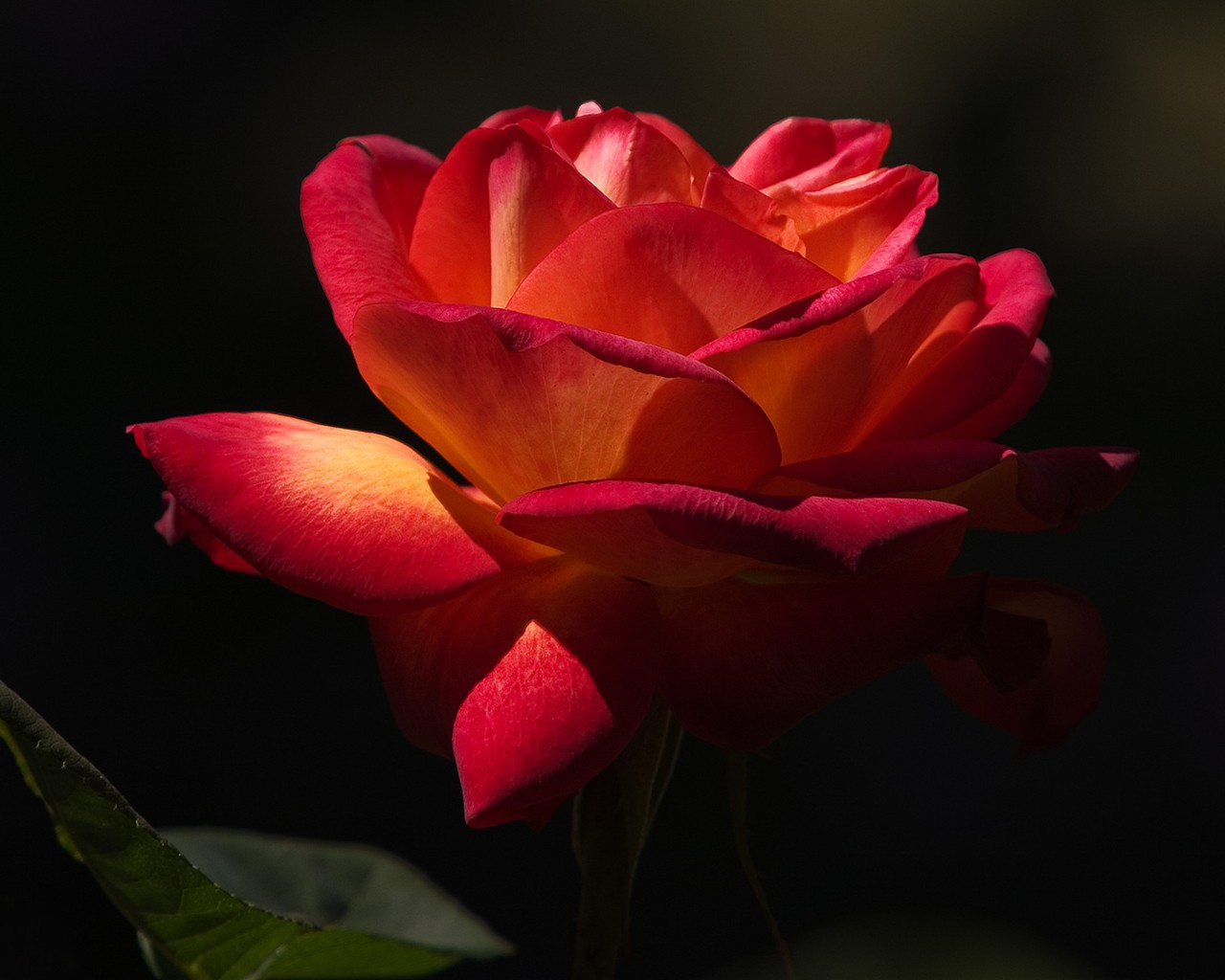 Red rose on a black background wallpapers and images   wallpapers 1280x1024