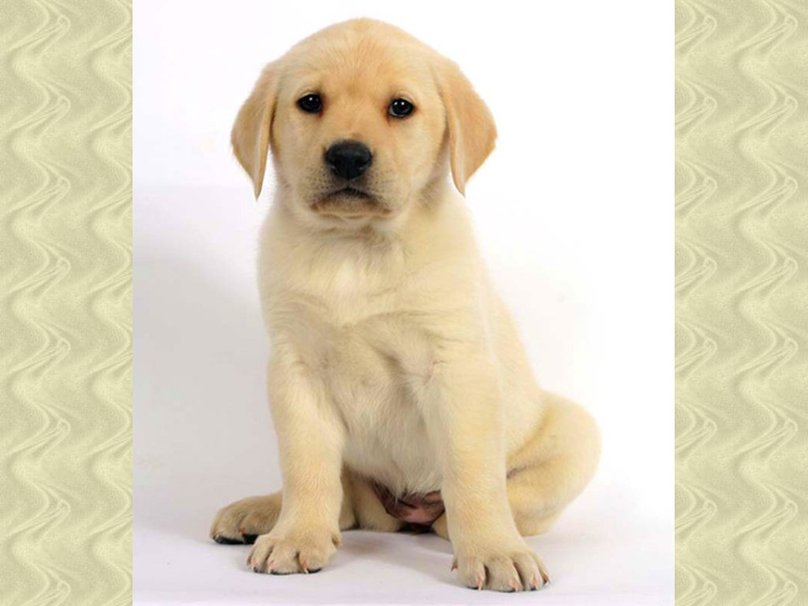 zoete labrador puppy wallpaper   ForWallpapercom 808x606