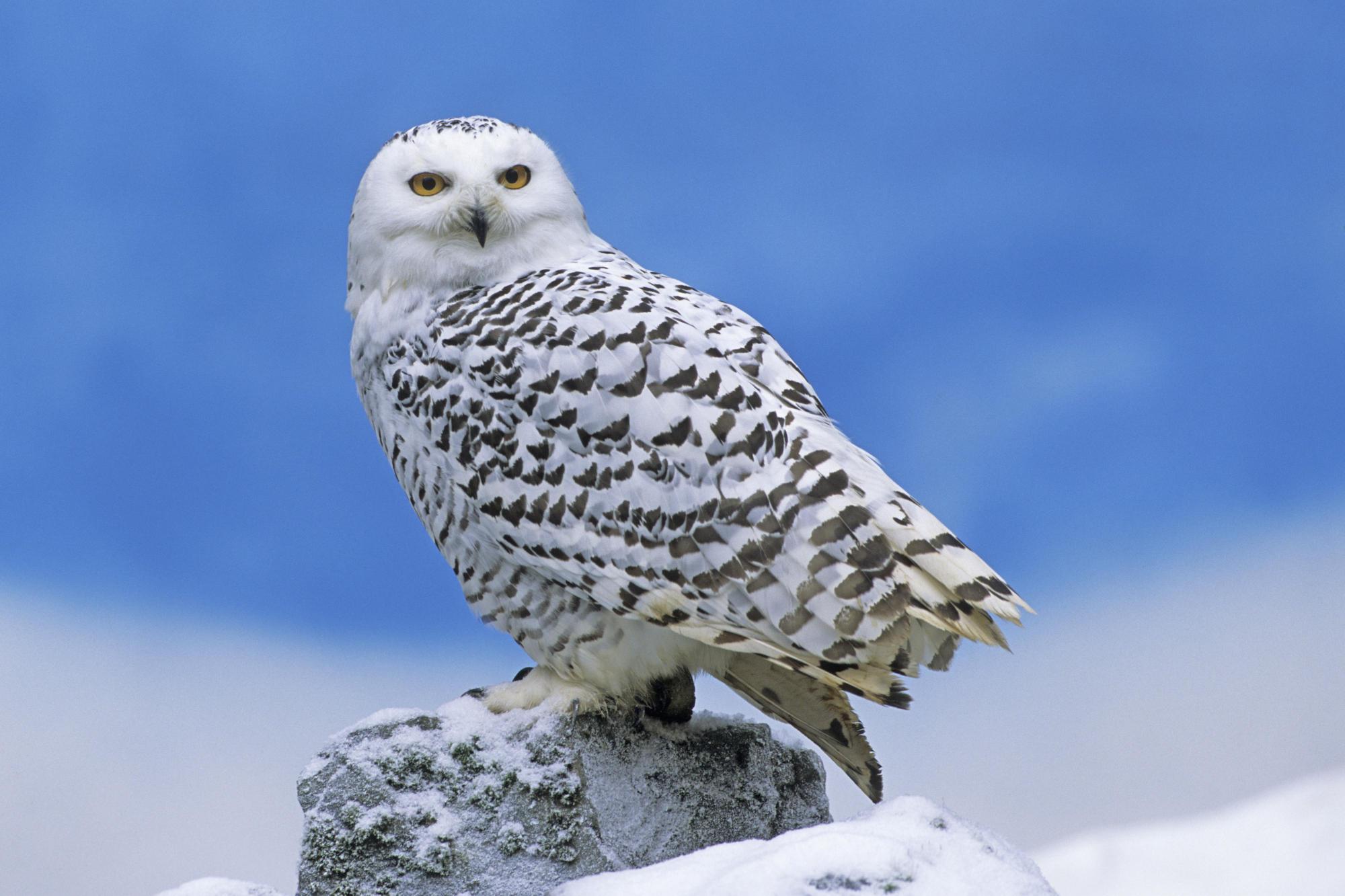 Snowy Owl Facts 2000x1333