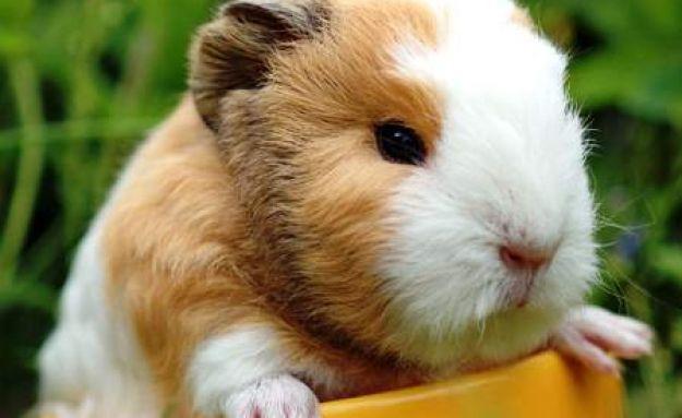 Download Cute Guinea Pigs Wallpaper HD Wallpaper WallpaperMine 625x383