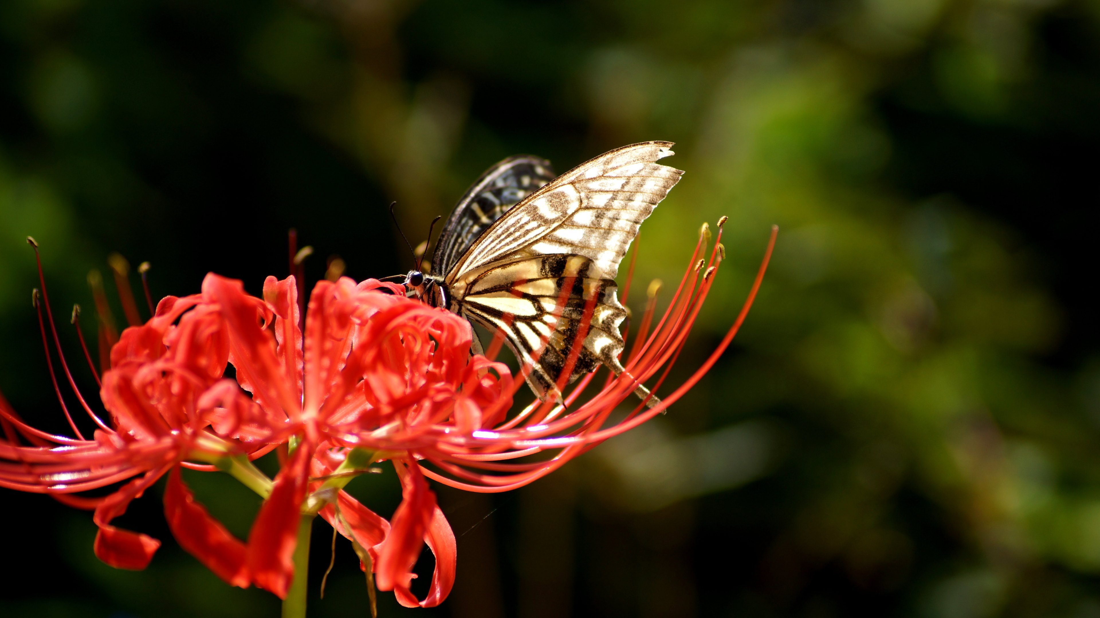 Butterfly on Lycoris Radiata Wallpapers HD Wallpapers 3840x2160
