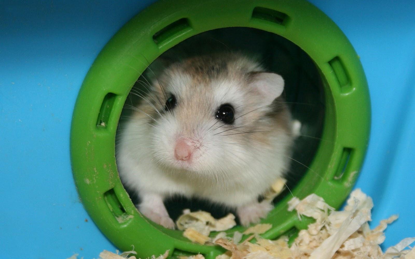 Hamsters achtergronden dieren hd hamster wallpapers foto 8jpg 1600x1000
