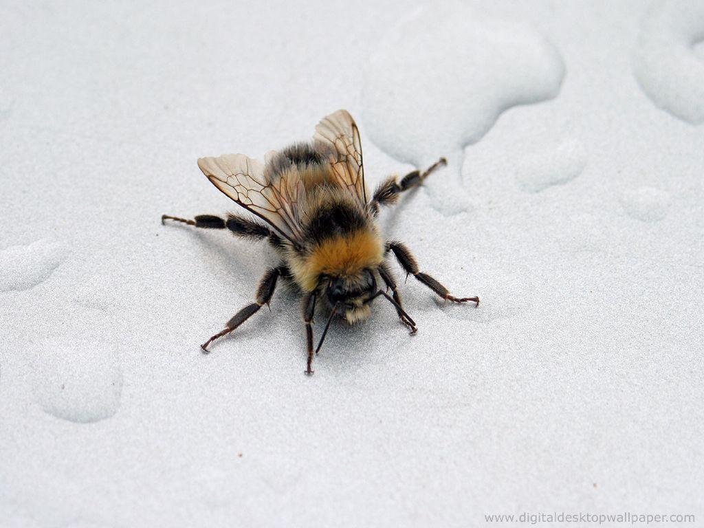 bee wallpaper 15 720860jpg 1024x768