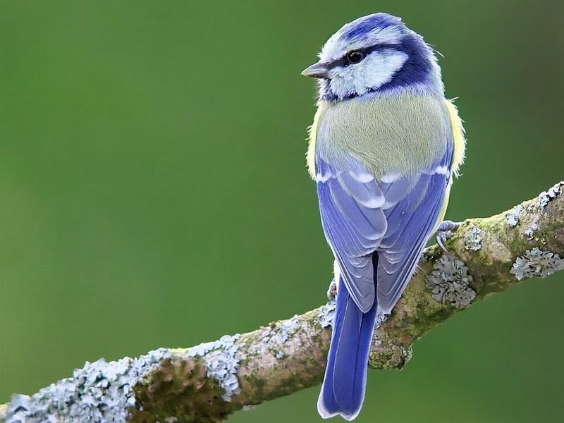blue bird desktop laptop wallpaper listed in picture category download 800x600