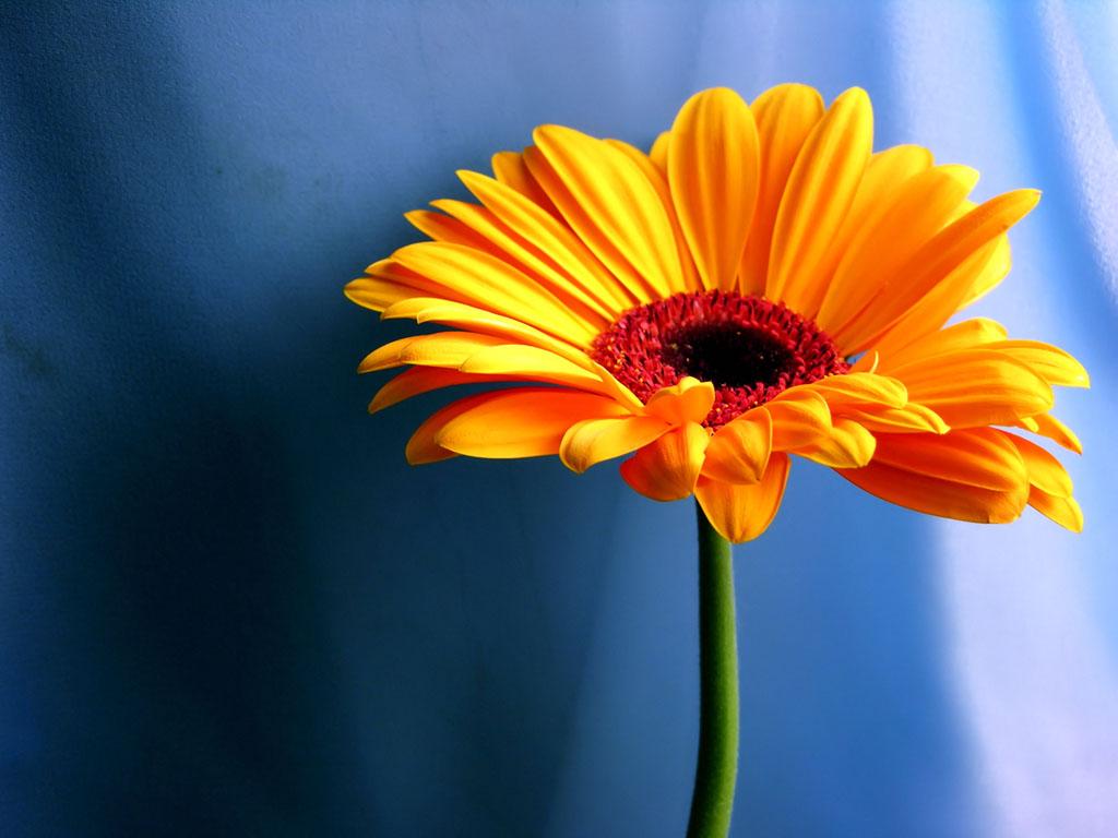 wallpaper Orange Gerbera Daisy Flowers Wallpapers 1024x768