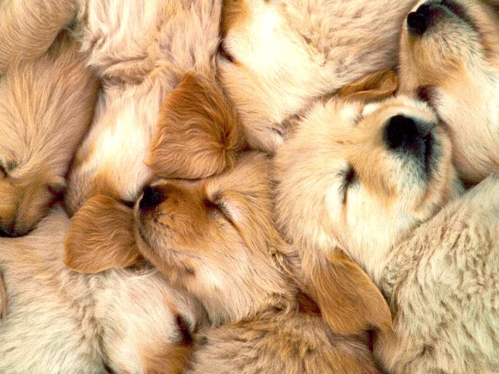 Tags Dog Golden Golden Retriever Retriever 1024x768