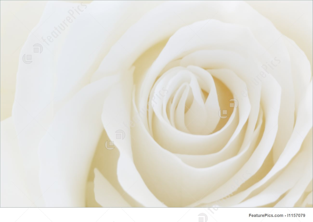 Rose White Background