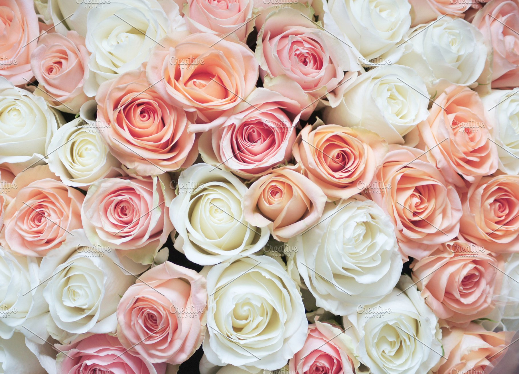 Free download White and Pink Roses Background Beauty ...