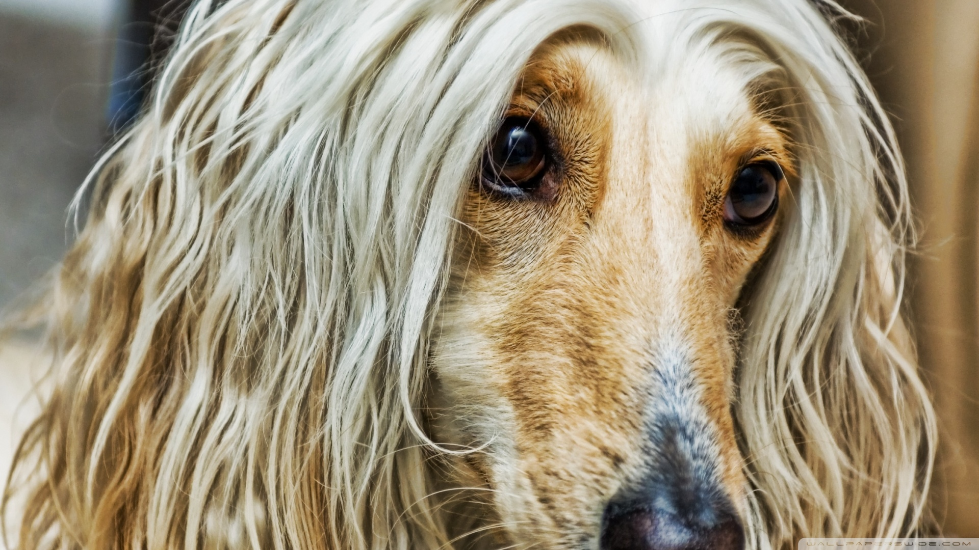 Afghan Dog Wallpaper 1920x1080 Afghan Dog 1920x1080