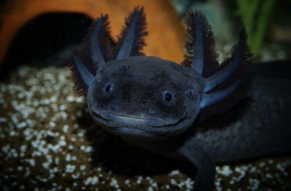 40 Most Popular Baby Black Cute Axolotl   Lee Dii 960x630