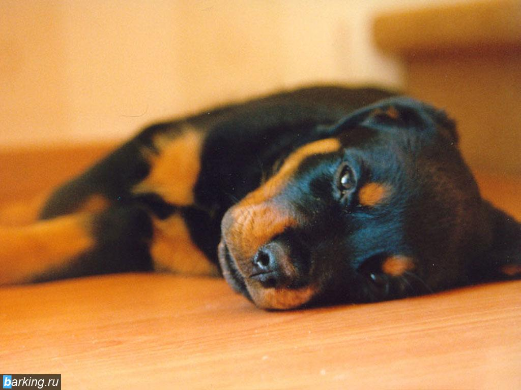 Rottweiler Puppies Wallpaper - WallpaperSafari