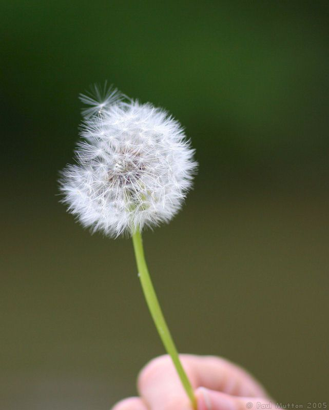 Blowing Dandelion Wind in the Trees Wallpaper 641x800
