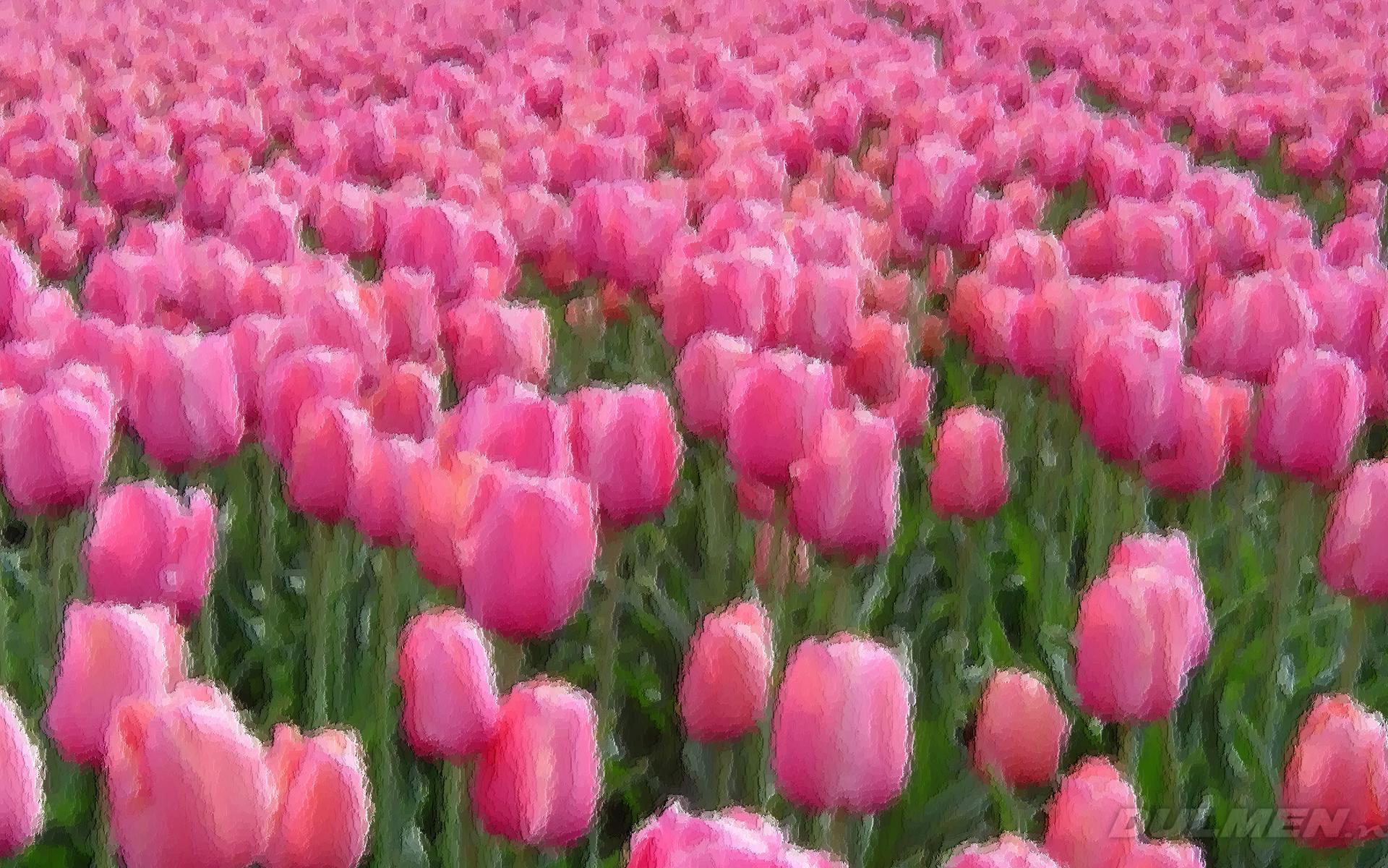 Tulips Wallpaper WallpaperSafari