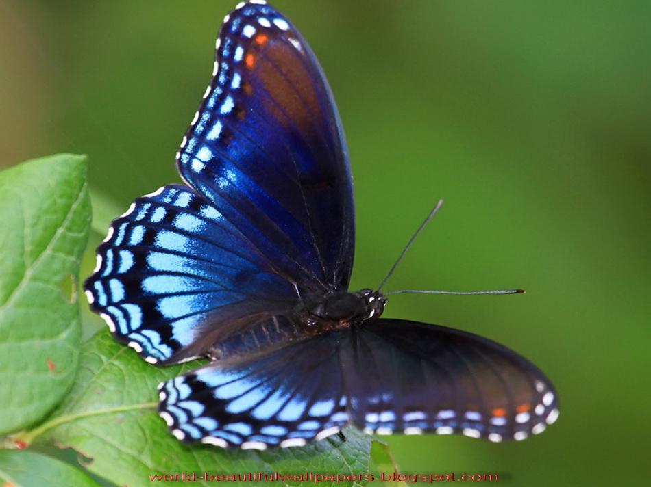 Beautiful Wallpapers Beautiful Butterflies Wallpaper 950x712