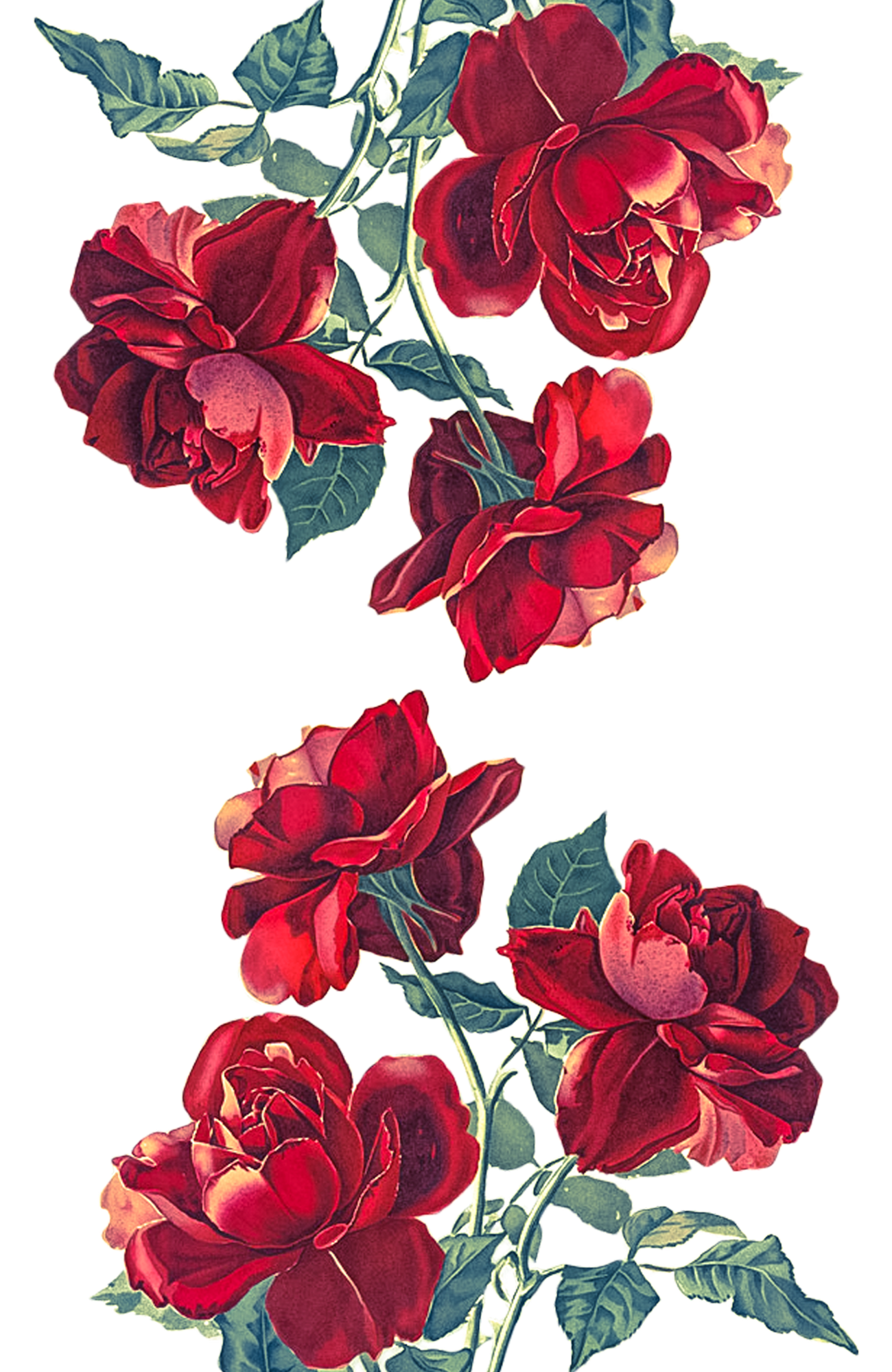 iPhone XS Case   Red Roses Transparent by Heart of Hearts 1300x2000