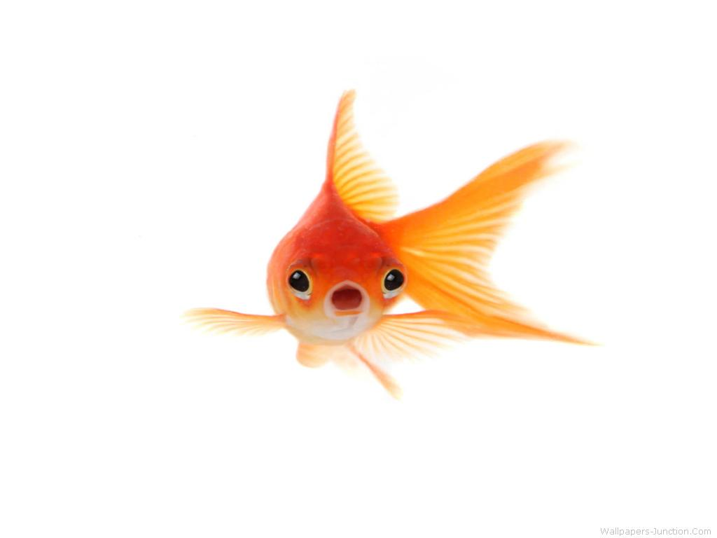 Goldfish Wallpaper 1024x768