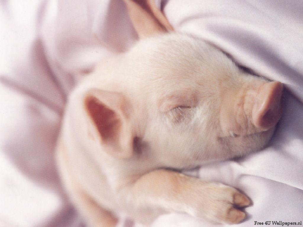 Piglet   Domestic Animals Wallpaper 2461959 1024x768