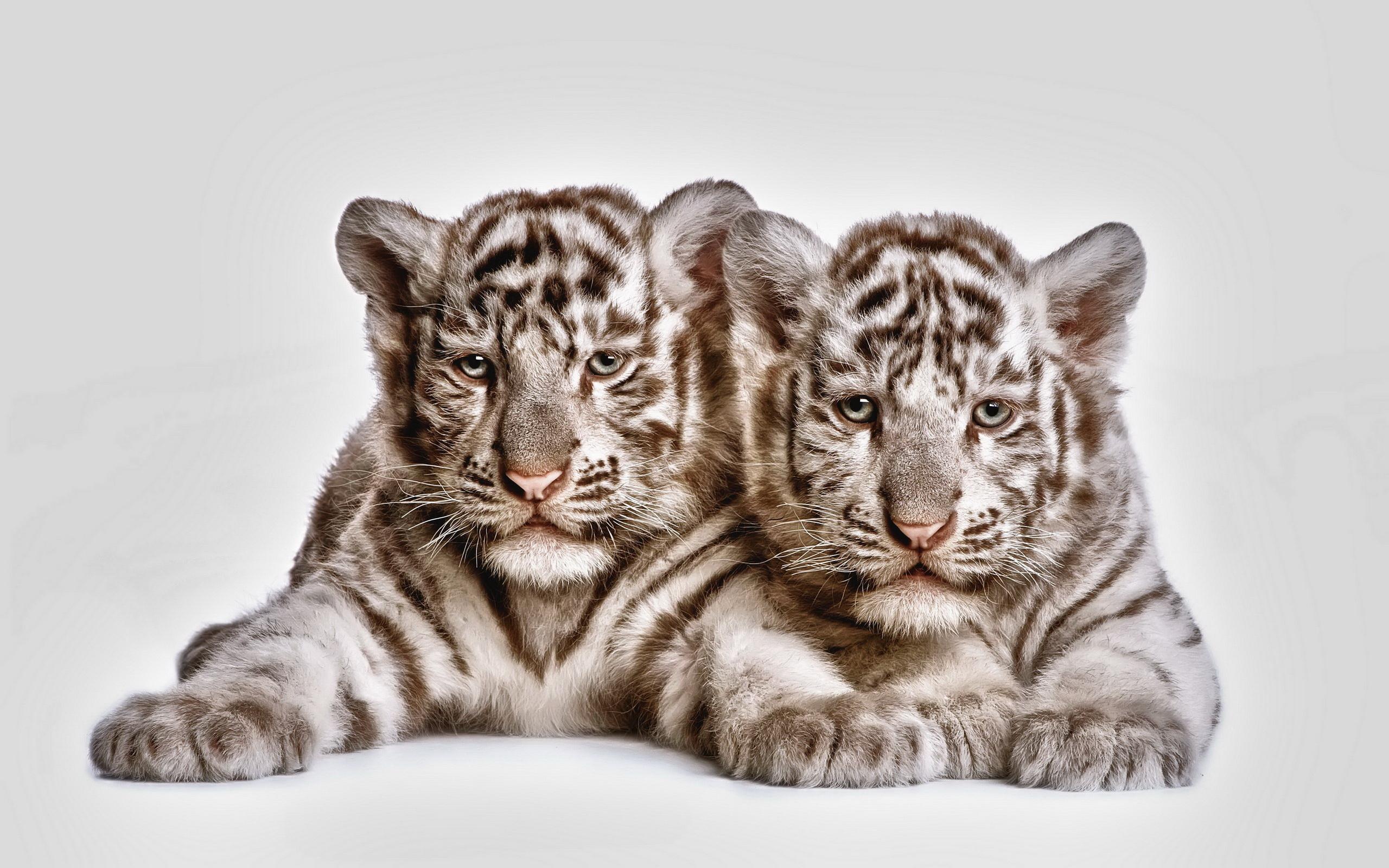 Animal   White Tiger Tiger Cub Cubs Cat Animal Wallpaper 2560x1600