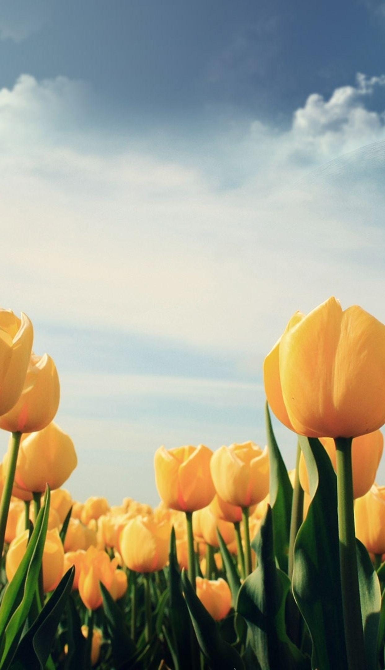 Wallpprs Yellow Tulips 1242x2208 4k HD wallpaper wallpprscom 1242x2160