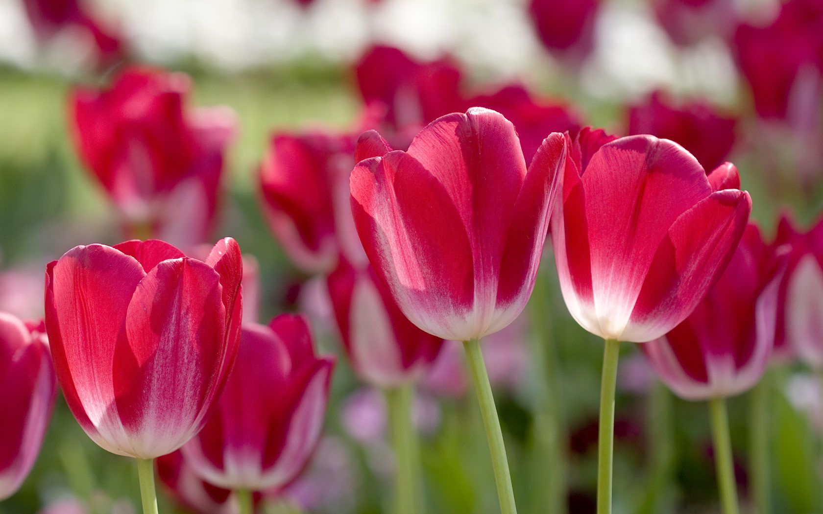 Spring Flowers Wallpapers Wide Download SubWallpaper 1680x1050