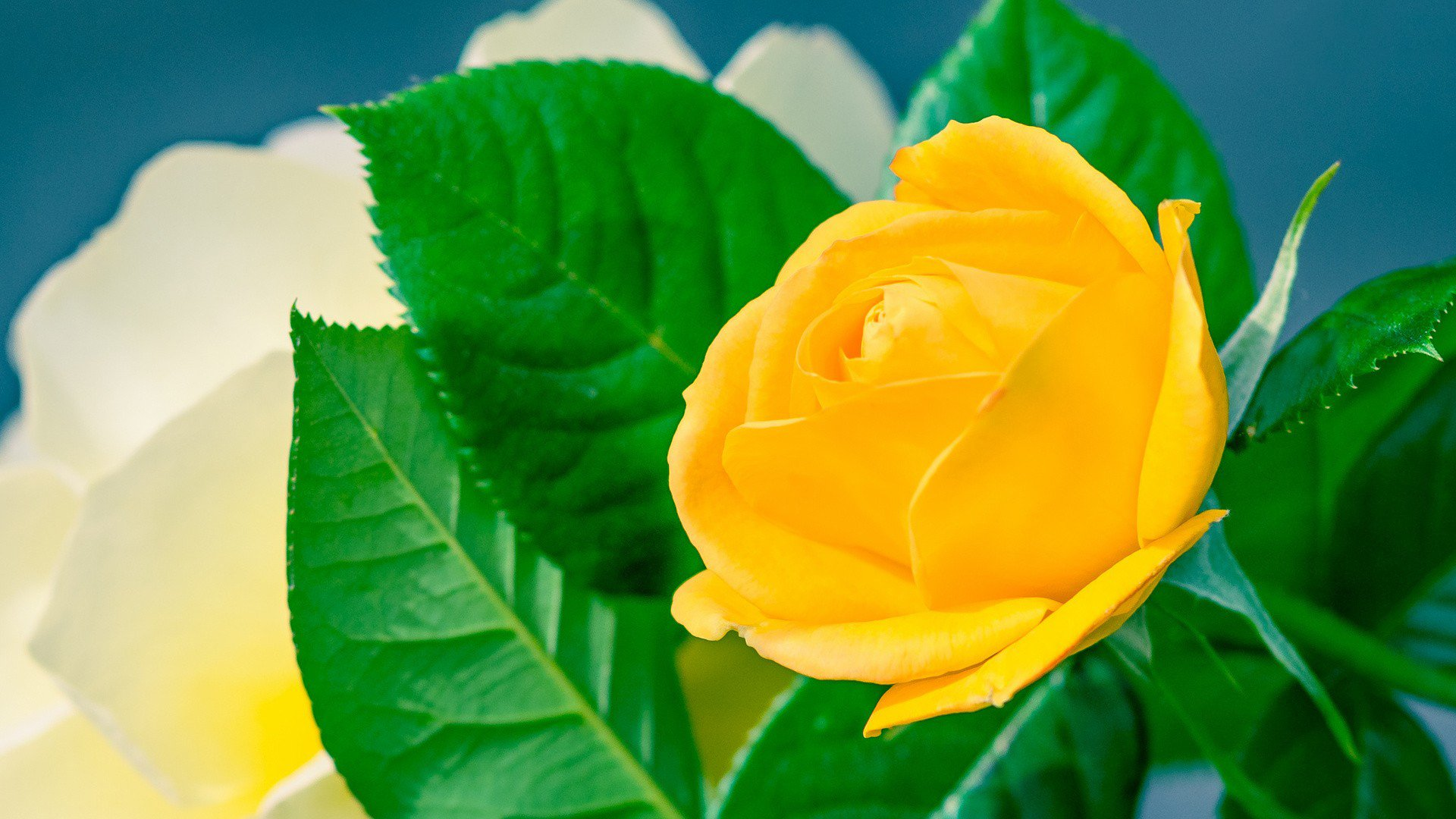 Download Home Hd Wallpapers Flowers Yellow Rose Hd Wallpaper