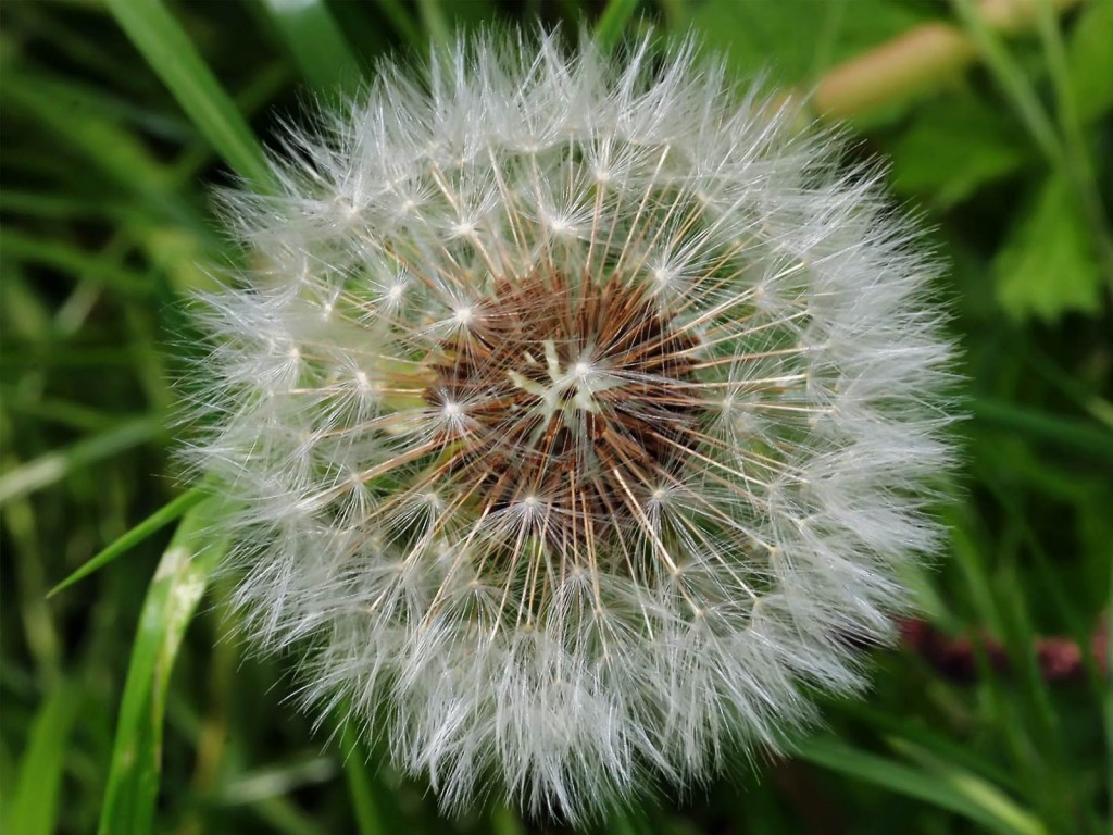 Dandelion Clocks Wallpaper 7 Wallpaper Background Hd HD Desktop 1024x768
