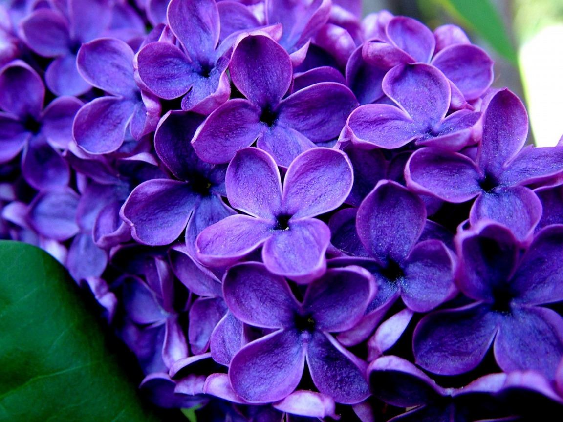 All photos gallery Purple flower pictures pictures of purple flowers 1152x864