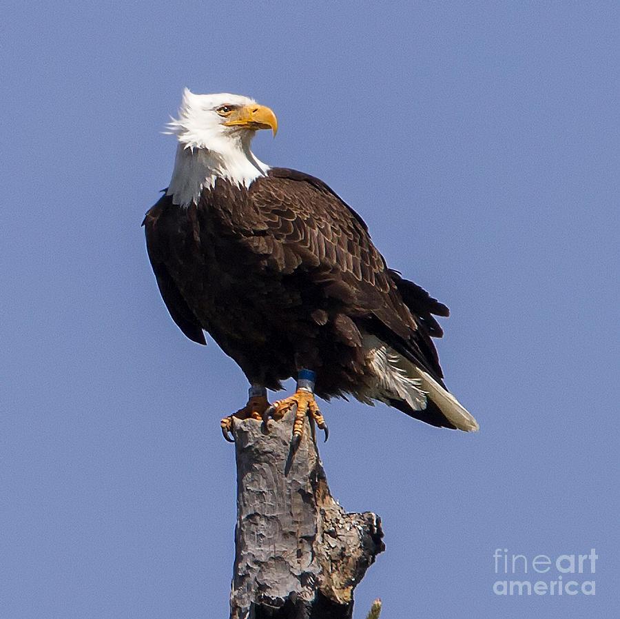 American Bald Eagle by Carolyn Fox 900x898