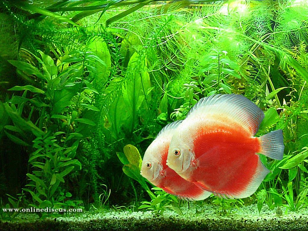 Freshwater Fish Wallpaper