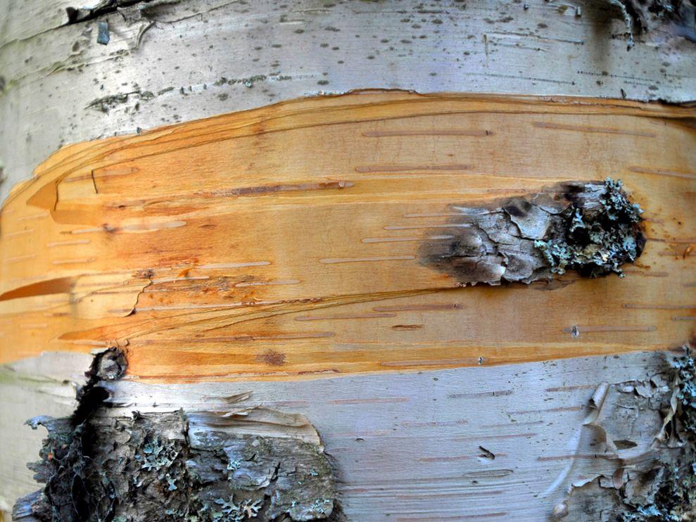 Photo Close up of birch tree bark 989x742