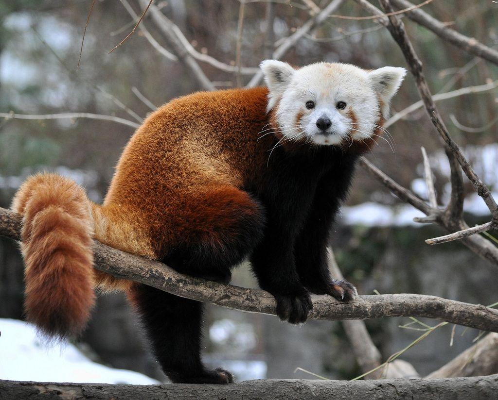 Cute Red Panda Wallpaper Download HD Panda Hd Cute Download 1024x824