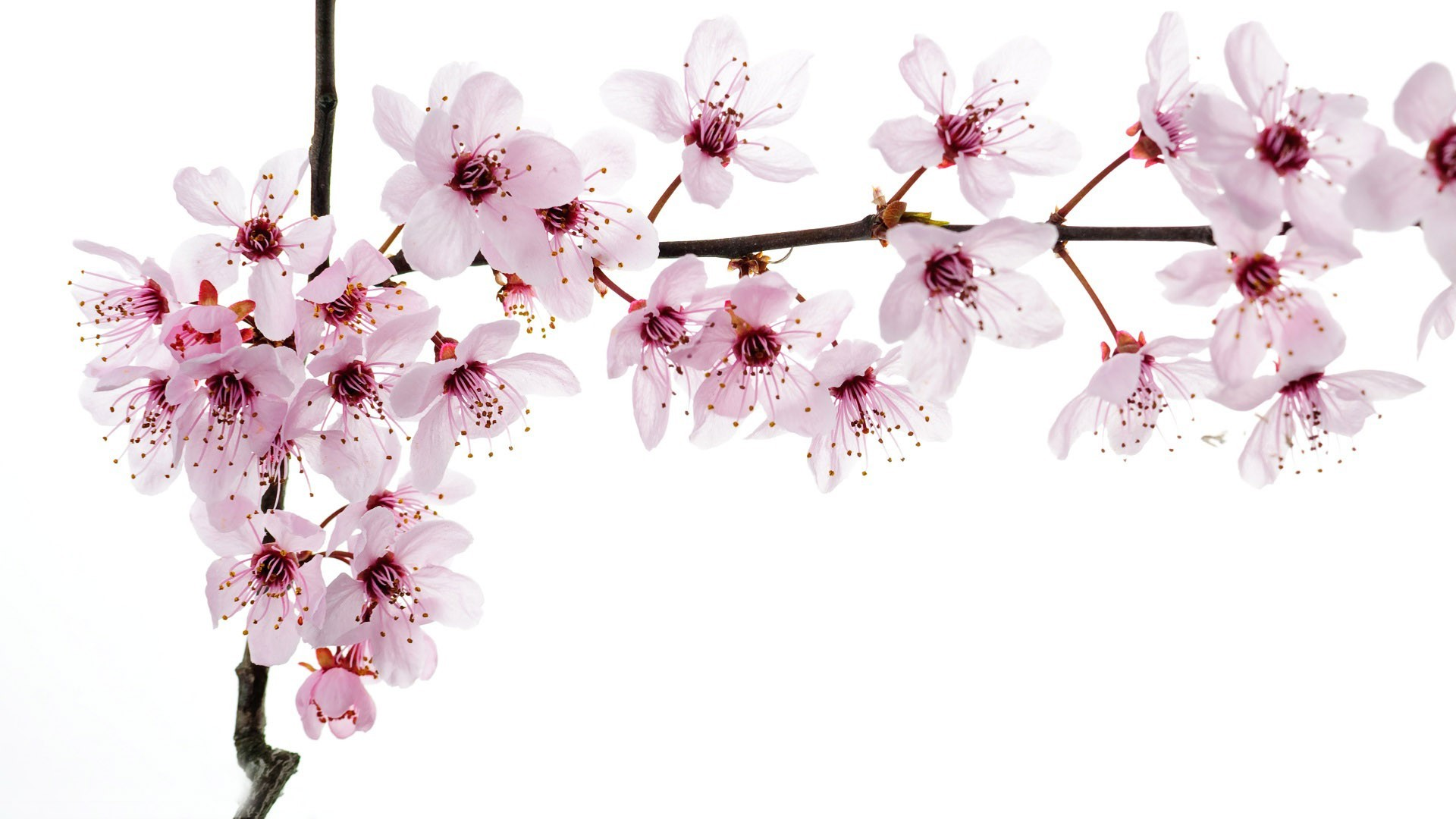 Cherry Blossom Wallpaper Backgrounds Cherry Blossoms hd Wallpapers 1920x1080