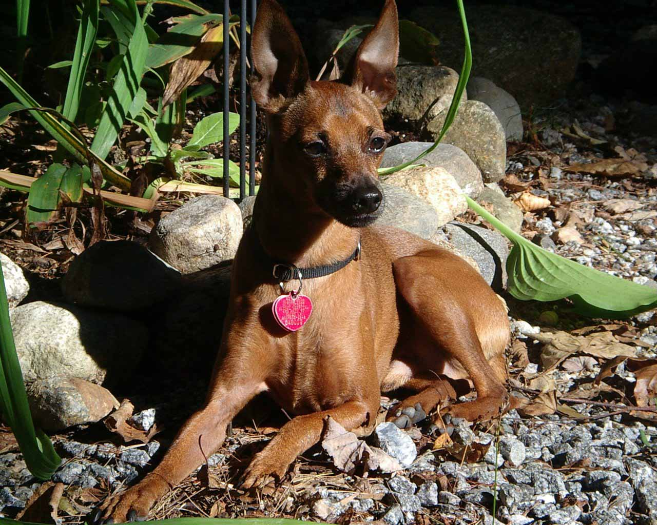Miniature Pinscher Wallpapers HD Wallpapers Pics 1280x1024