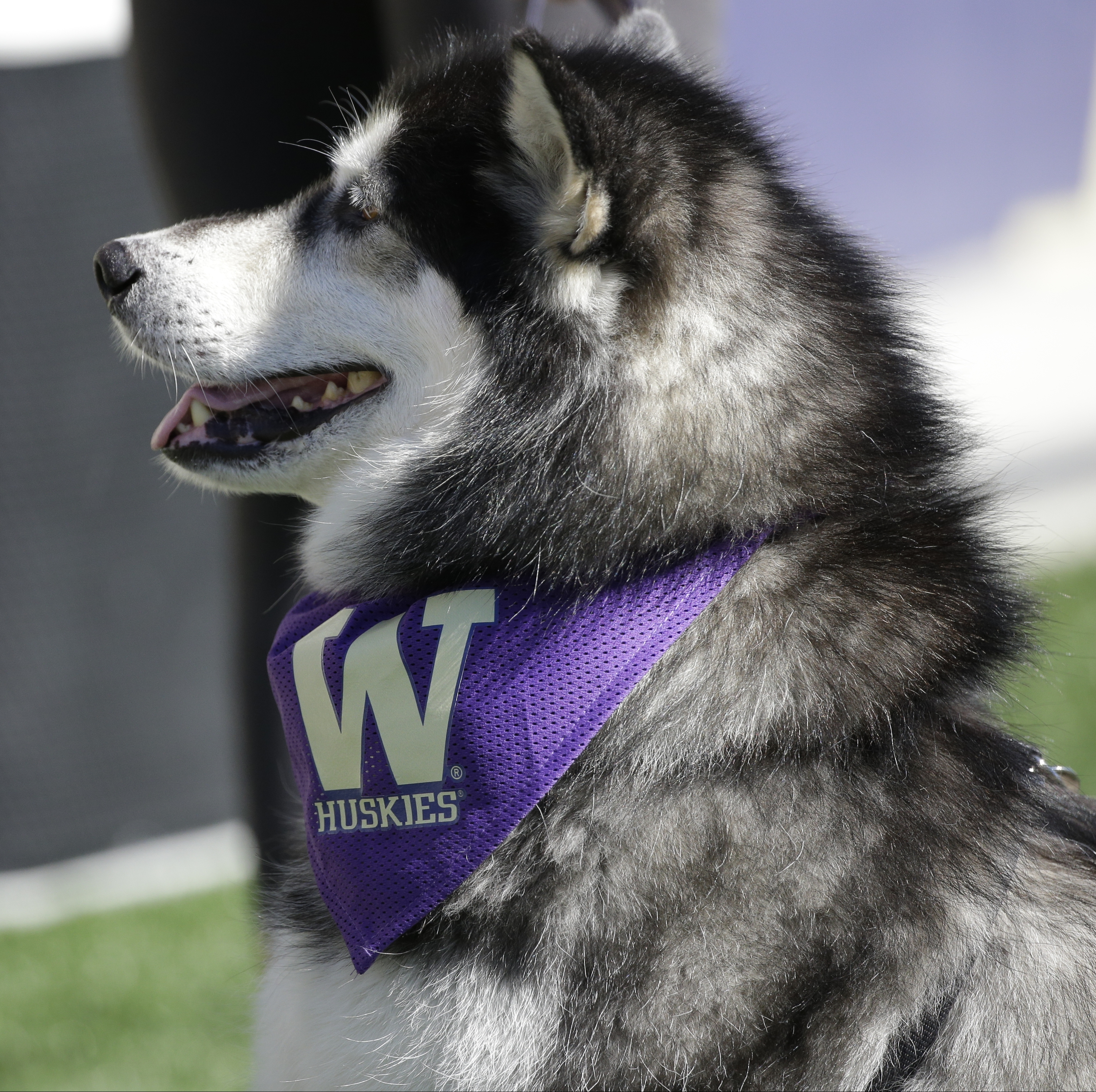 The Washington Huskies mascot is shown during an NCAA college football 3250x3239