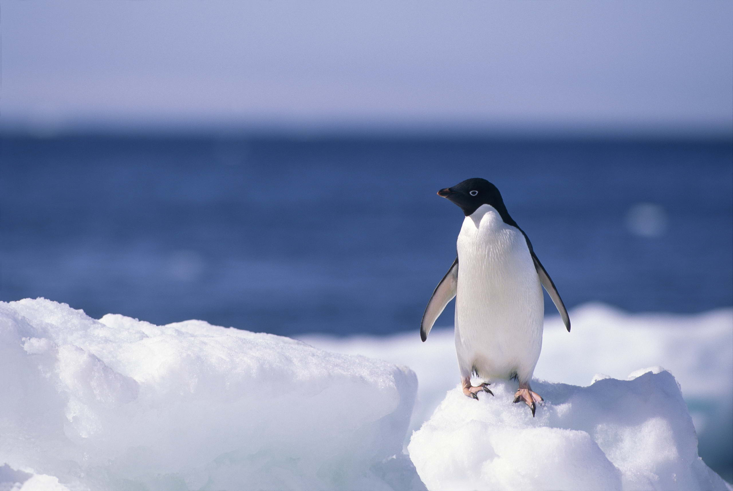 Baby Penguin Wallpapers   Top Baby Penguin Backgrounds 2560x1715