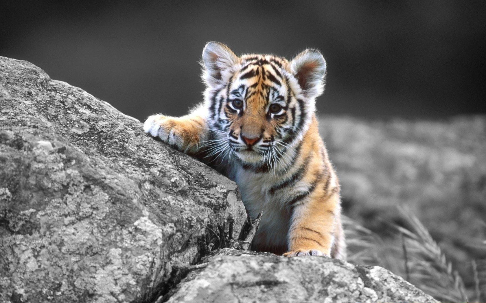 Cute White Tiger Cubs Wallpaper Images Pictures   Becuo 1680x1050
