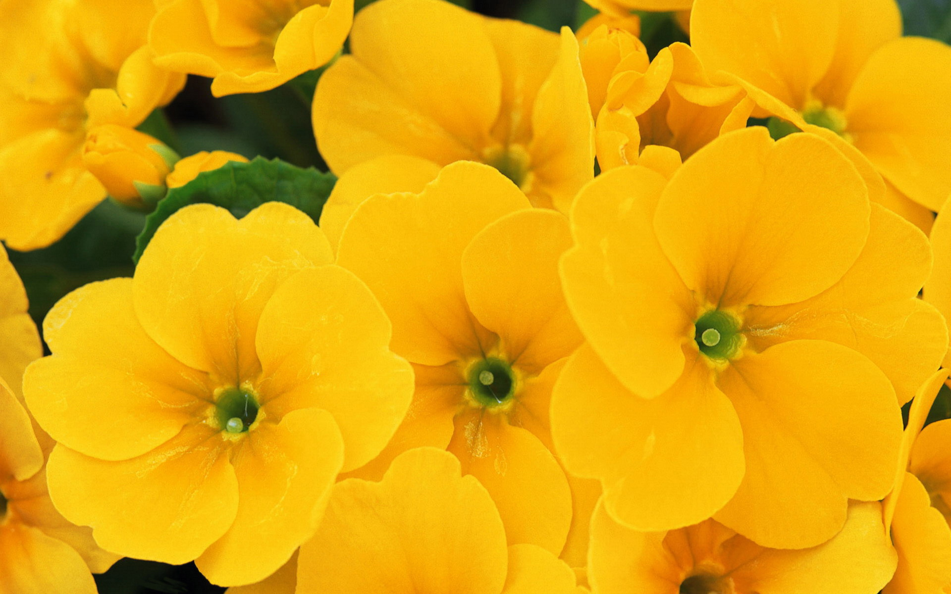 yellow flowers wallpapers pack - photo #1