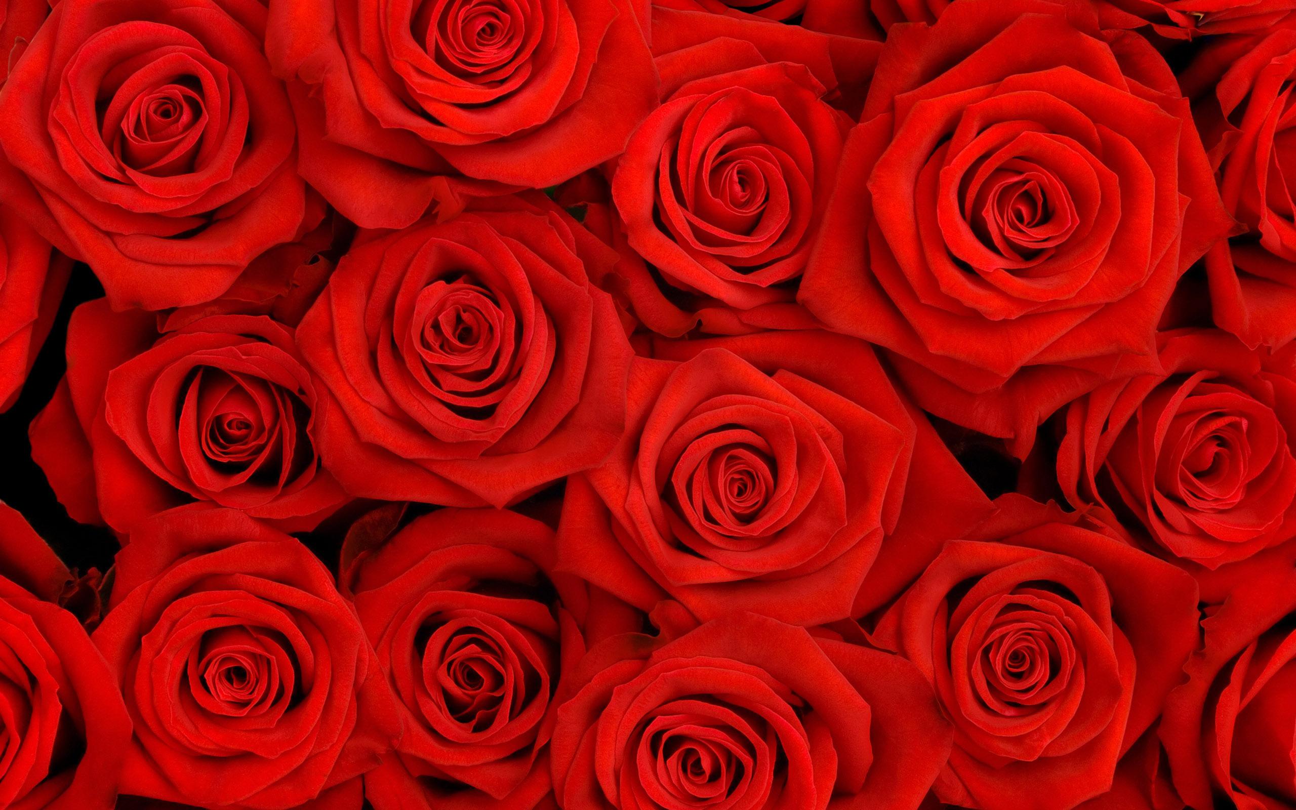 red rose background desktop hd desktop wallpapers Black Background 2560x1600