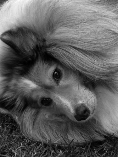 Sheltie Dog screensaver for Amazon Kindle 3 375x500