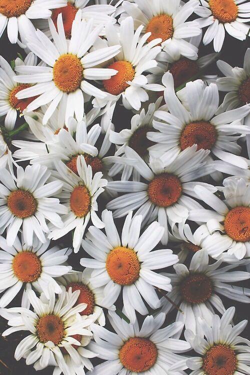 Daisies iphone wallpaper I Phone cases wallpaper Pinterest 500x750