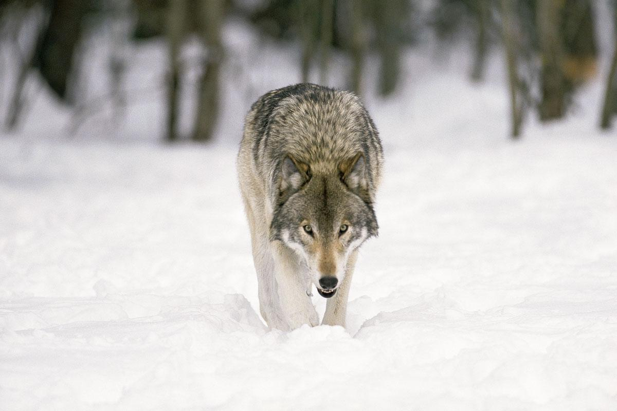 HD Gray Wolf HD Wallpaper Download   139984 1200x800