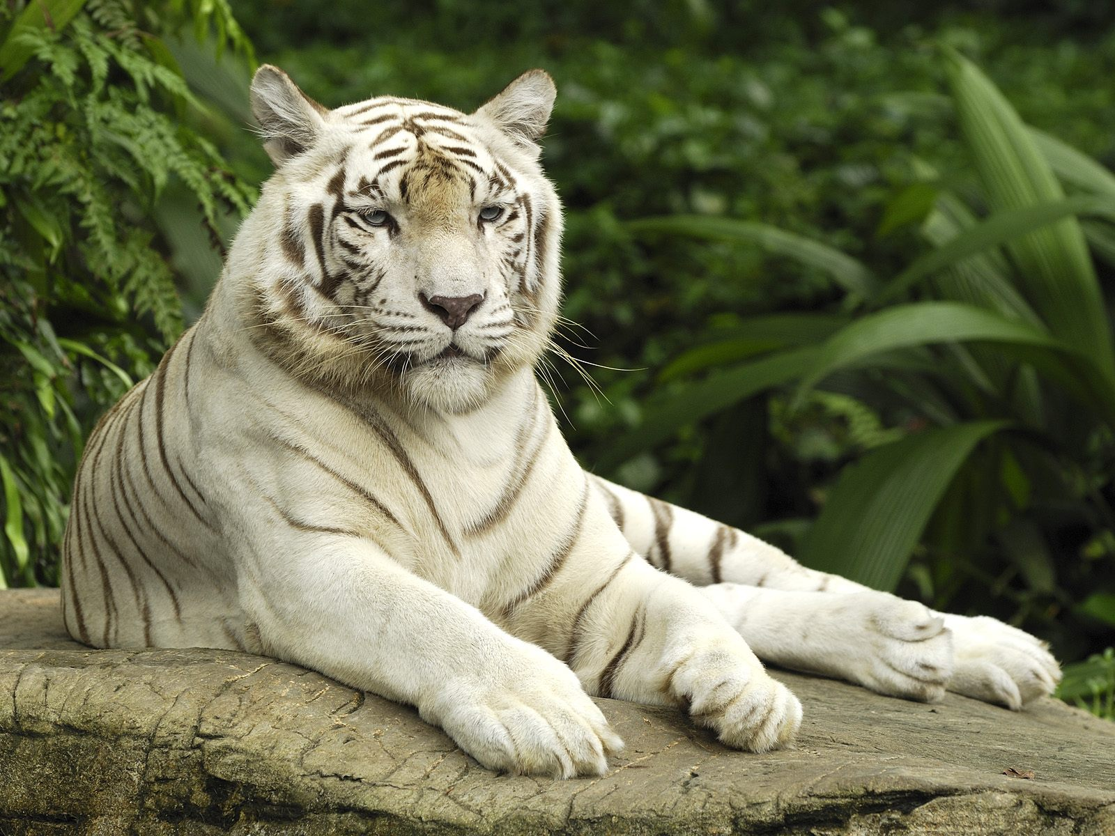 White Tiger Singapore Wallpapers HD Wallpapers 1600x1200