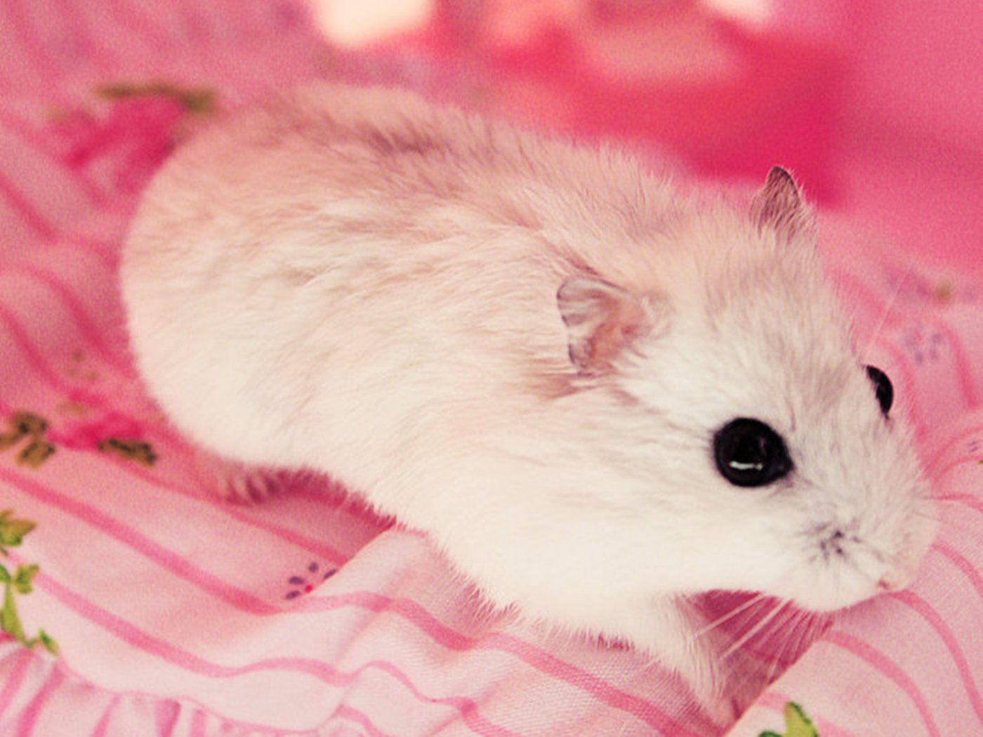Hamster Cute Wallpaper Pictures 1400x1050
