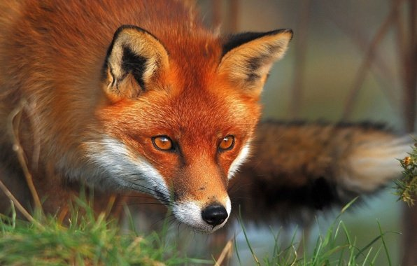 Wallpaper red fox forest hunting wallpapers animals   download 596x380