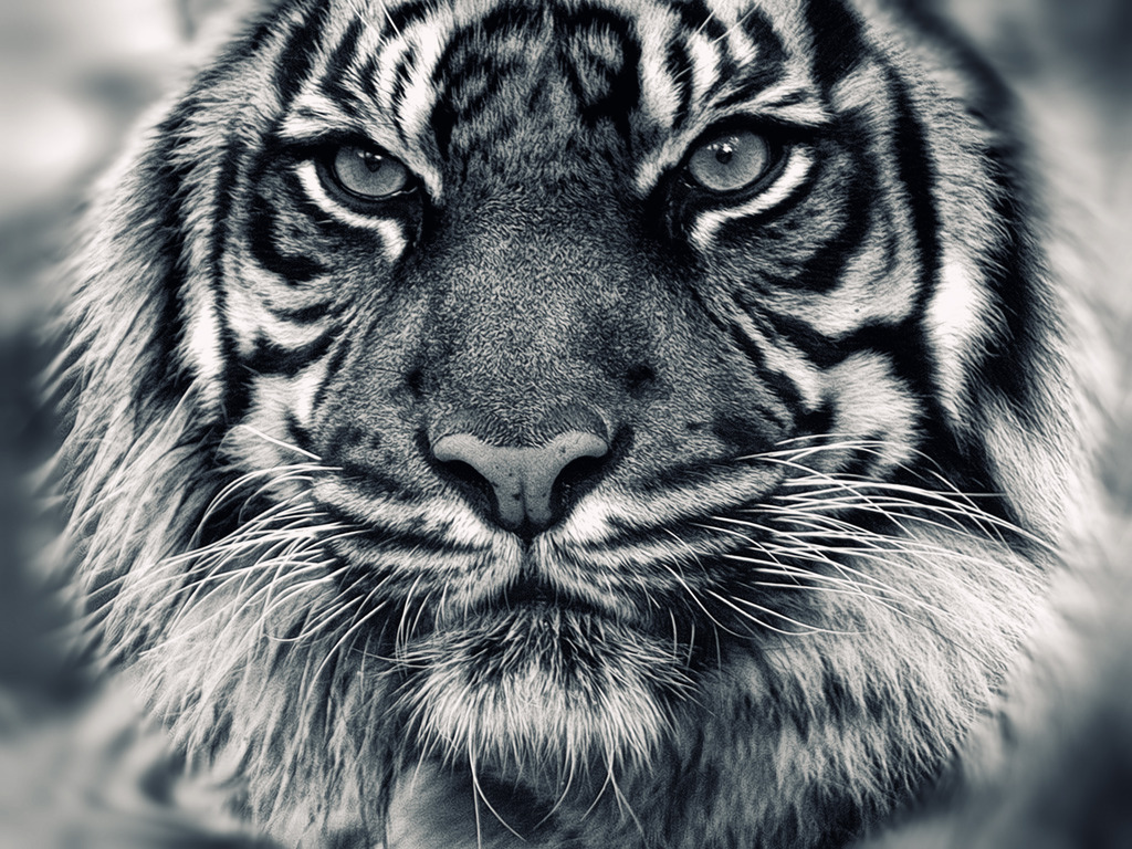 Face White Tiger Wallpaper photos of Strong White Tiger HD Wallpapers 1024x768