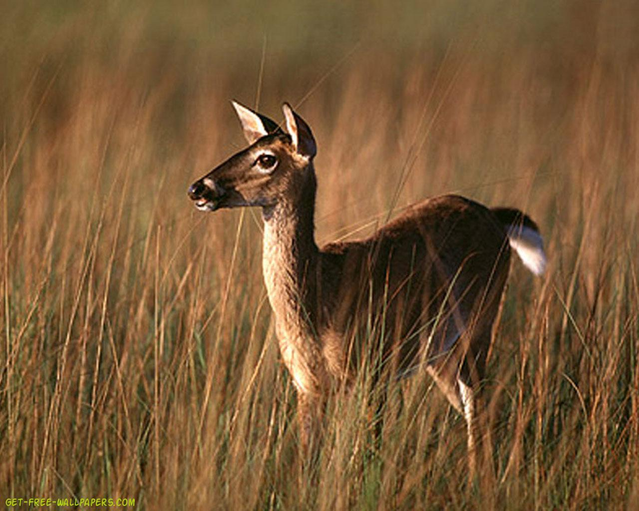 white tailed deer buck 1280x1024