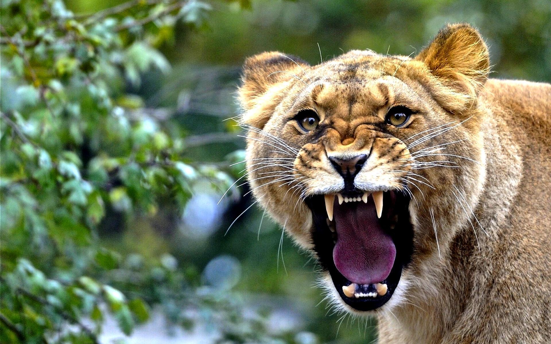 [45+] Lion Roar Wallpaper On WallpaperSafari