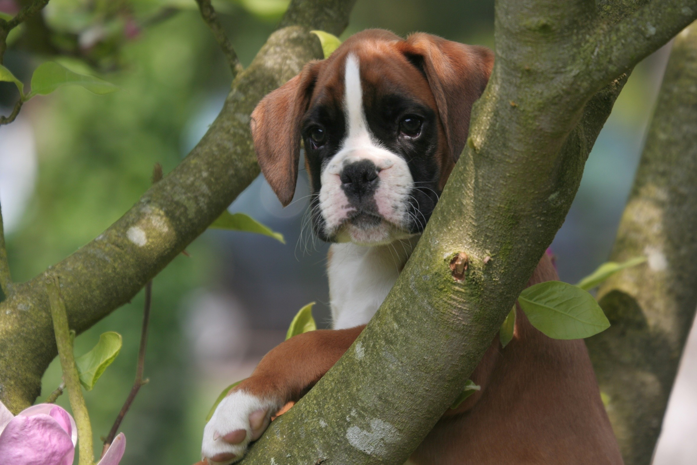 Boxer Dog Desktop Hd